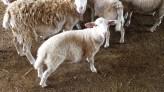 Lamb_5