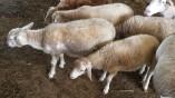 Lamb_6