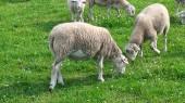 Lambs_2