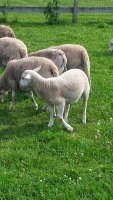 A lamb